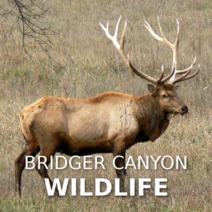 Bridger Canyon Wildlife